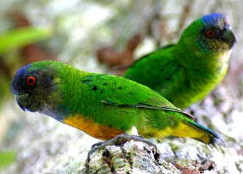 Дятловый попугайчик Шлегеля (Micropsitta geelvinkiana): фото ...