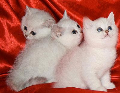 Британские котята окраса серебристая шиншилла с изумрудными и синими глазами.  Объявление.