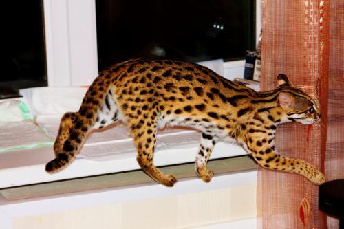 Котята как леопарды