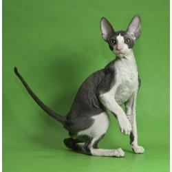 Корниш-рекс элитные котята для вас.