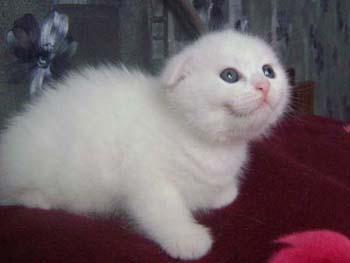 Котята шотландские вислоухие белого
