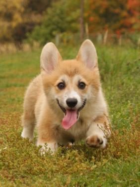 Вельш-корги: фото собаки, цена, описание породы, характер ...