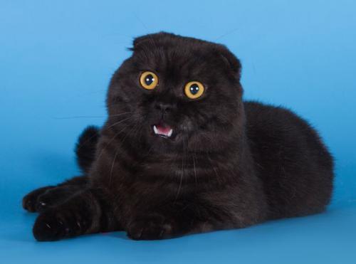 Кот шотландский вислоухий фото черный