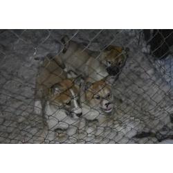 Западносибирская лайка купить щенков, вязка, в хорошие руки г