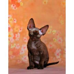 Котик девон-рекс шикарного окраса