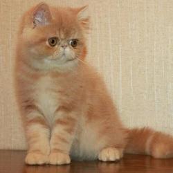 кремовые экзотические котята