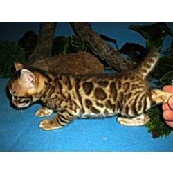 Бенгальские котята с документами