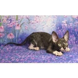 Корниш-рекс замечательные котята