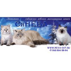 Чудесные невские маскарадные котята.