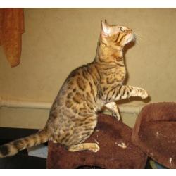 Бенгальские котята для дома и разведения из питомника.