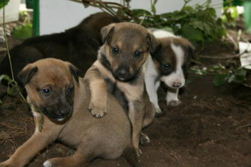 продается щенок 3 мес, сука, помесь алабая(мать) и московской сторожевой(отец)