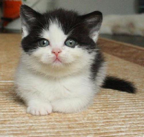 черно белые британские котята фото