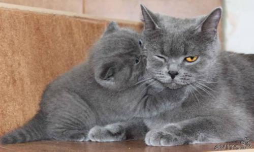 Голубые вислоухие котята фото