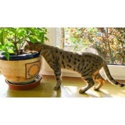 Саванна котята