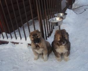 Собаки и щенки породы Среднеазиатская овчарка
