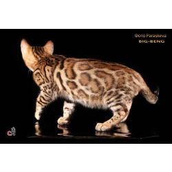 Бенгальская кошка шоу класса