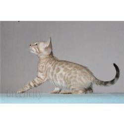 Бенгальские и тойгер котята