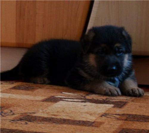 Ротвейлер щенки цена: фото месячного щенка овчарки, рацион щенка 2 месяца.