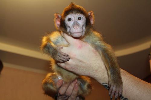 Уход за обезьянкой в домашних условиях - РусАвто такси