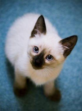 Отдам кот сиамский
