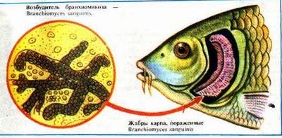 Жаберная гниль, или Бранхиомикоз