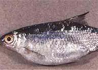 Паразиты во внутренностях рыбы