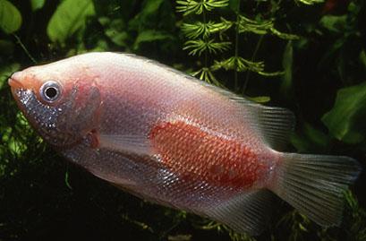 Лепидортоз - заразная болезнь аквариумных рыб, причина болезнетворные...