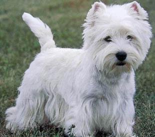 Купить щенка джек рассел терьера в Москве Питомник джек