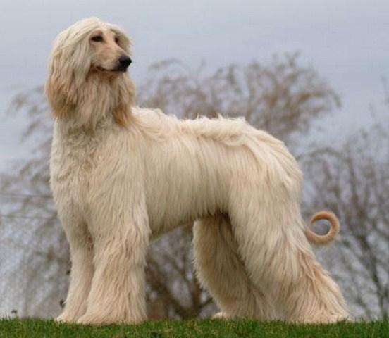 фото собака афган
