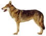 Волчья собака Сарлоса (Саарлоосвольфхунд, Саарлоос Вольфхонд, Саарлосс