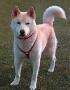 Айну (Хоккайдо-ину, айну-кен, хоккайдская собака, хоккайдо)