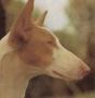 Ивисская собака (Поденгу Ибисенгу, Балеарская Левретка, Ивисская борза