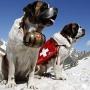 Альпийский мастиф (сенбернар, собака святого Бернара, бернардинер)