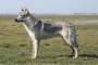 Чехословацкая волчья собака (Чешский волфхунд, Чехословацкий волчак)