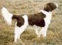 Дрентская куропаточная собака (Голландский партийсхонд, Голландский па