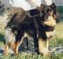 Лапинпорокойра (Лапландская оленегонная собака, лопарская оленегонная