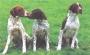 Французский бракк пиренейского типа