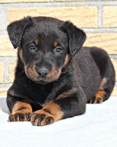 собака босерон фото