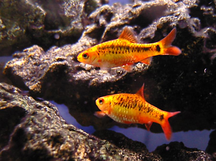 барбусы рыбки фото