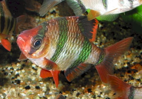 Описание: эта довольно интересно окрашенная рыбка является мутантом...