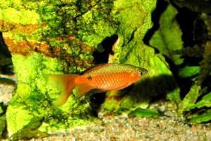 Барбус огненный (Barbus conchonius) -