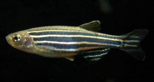 Данио рерио (Brachydanio rerio)