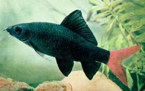 фото рыбки лабео