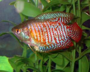 http://www.ekzotika.com/ekzotika_img/fish/small_177.jpg