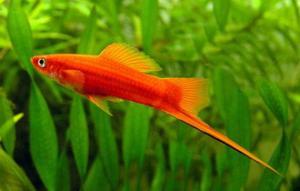 Меченосец (Xiphophorus helleri) - Красный, самец