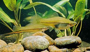 Меченосец (Xiphophorus helleri) - Зеленый, самец и самка