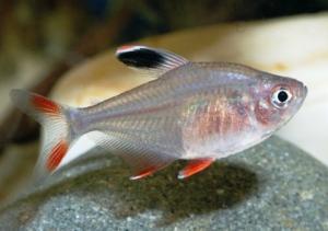 Орнатус обыкновенный ( Hyphessobrycon bentosi bentosi ) -