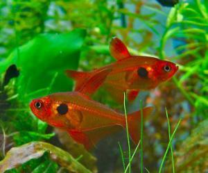 http://www.ekzotika.com/ekzotika_img/fish/small_213.jpg