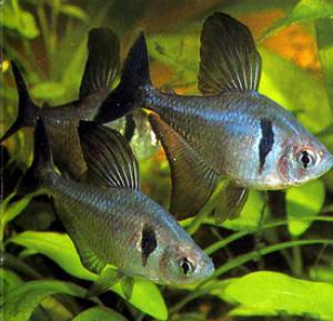 Орнатус  (фантом) черный (Megalamphodus megalopterus) -