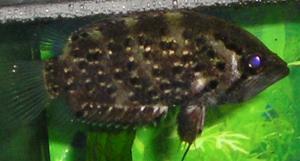 Рыба-обрубок (Polycentrus schomburgki)